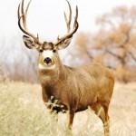 HK - Mule Deer